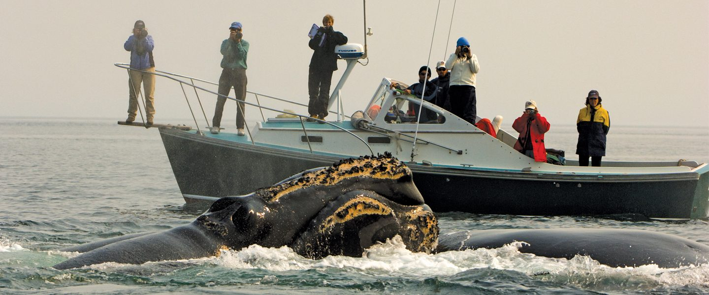 researchers on boat observe right whales in foreground