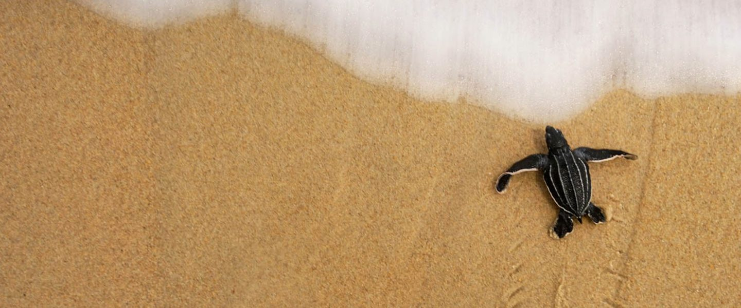 a sea turtle hatchling scuttles over sand toward wave
