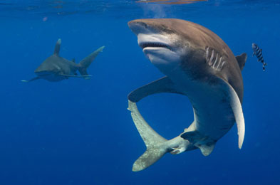oceanic whitetip shark feeding