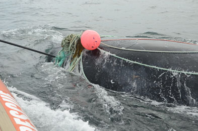 right whale dragging fishing line