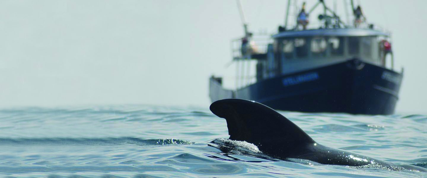 pilot whale surfaces in front of vessel