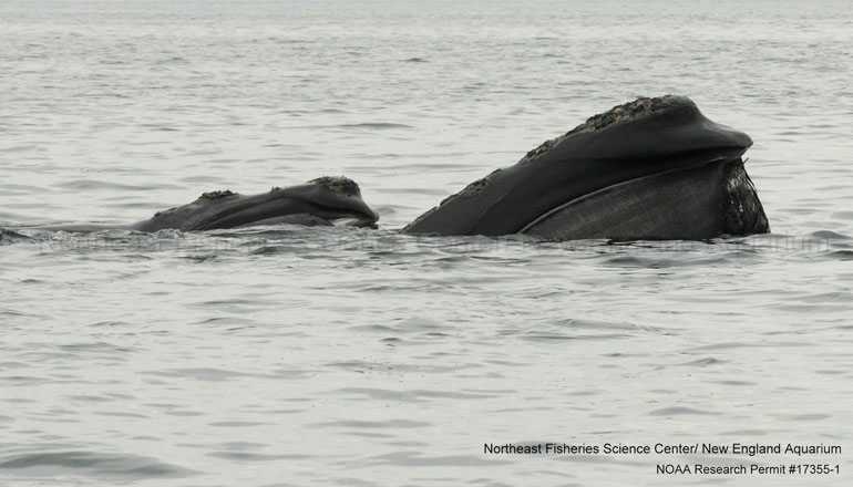 right whale skim feeding