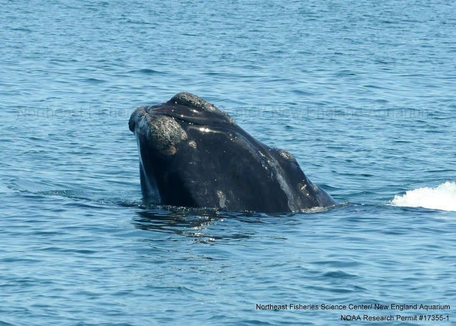 right whale head