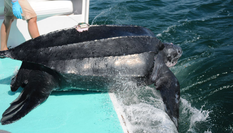 How Entanglement and Stranding Affects Stress Levels In Leatherbacks