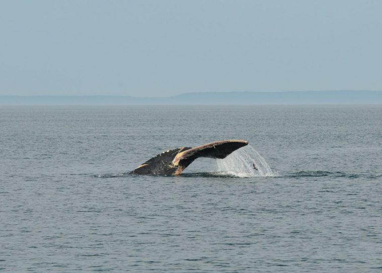 right whale fluke with scars