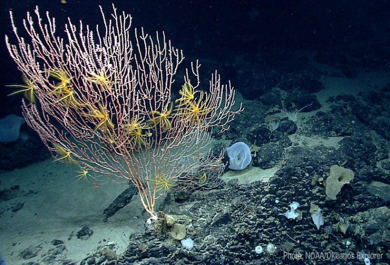 deep sea corals in northeast coral canyons and seamounts marine national monument