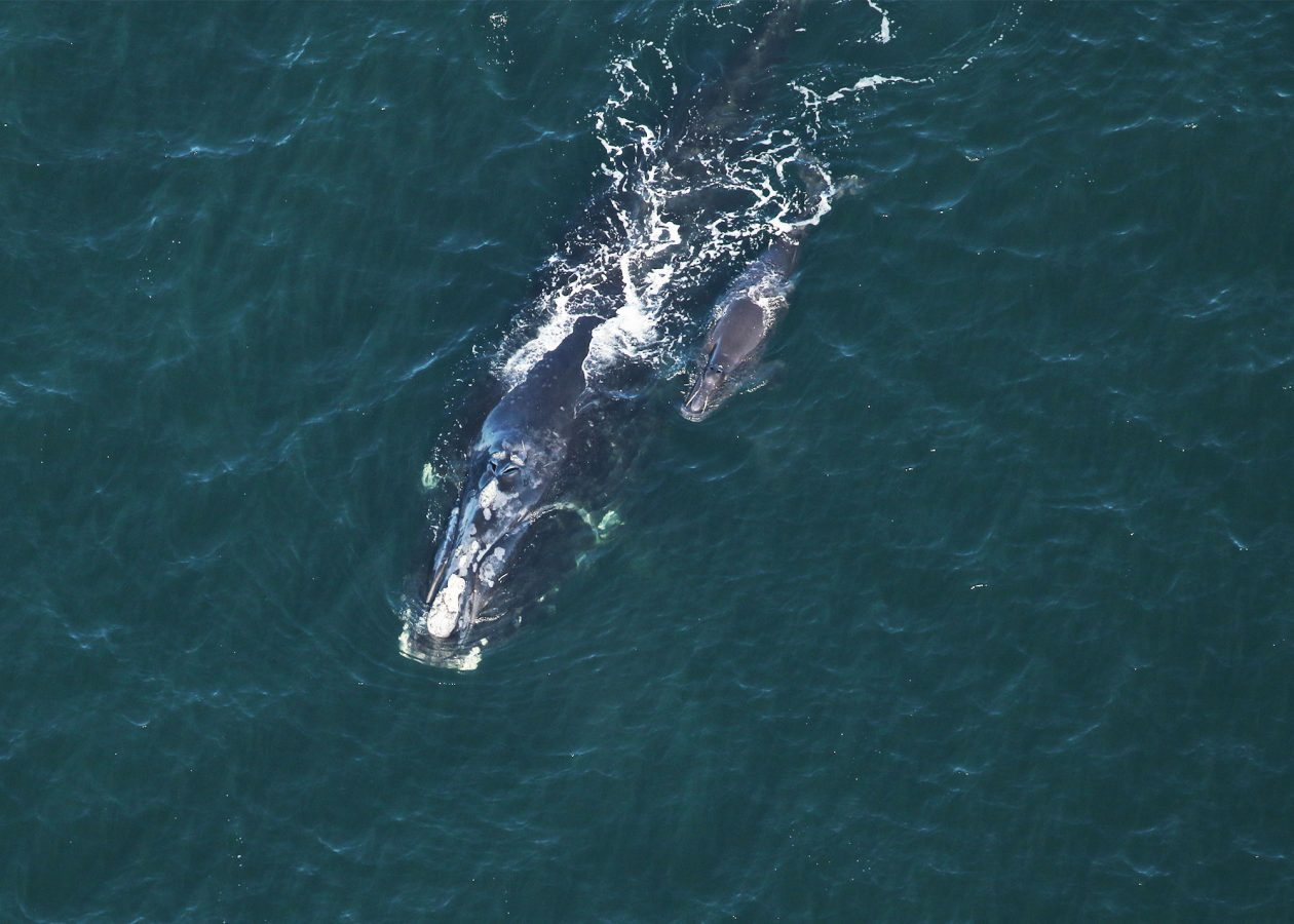 Right whale #2614 accompanied by her calf