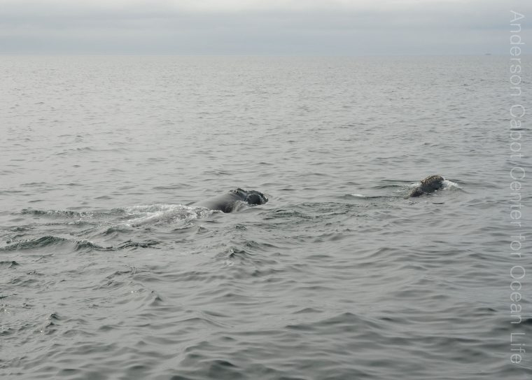 right whale and calf swim at surface on a gray day