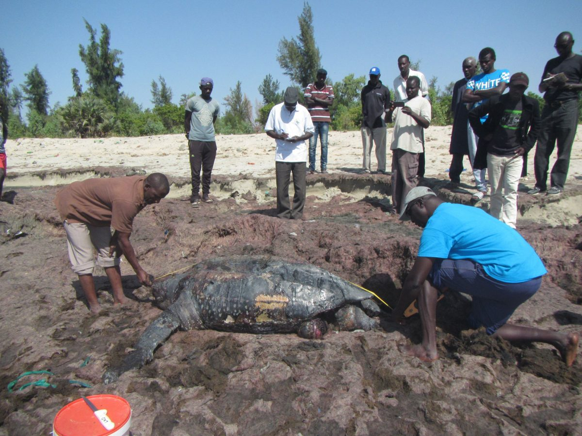 scientists measure carapace of dead turtle