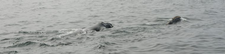 right whale swims with calf