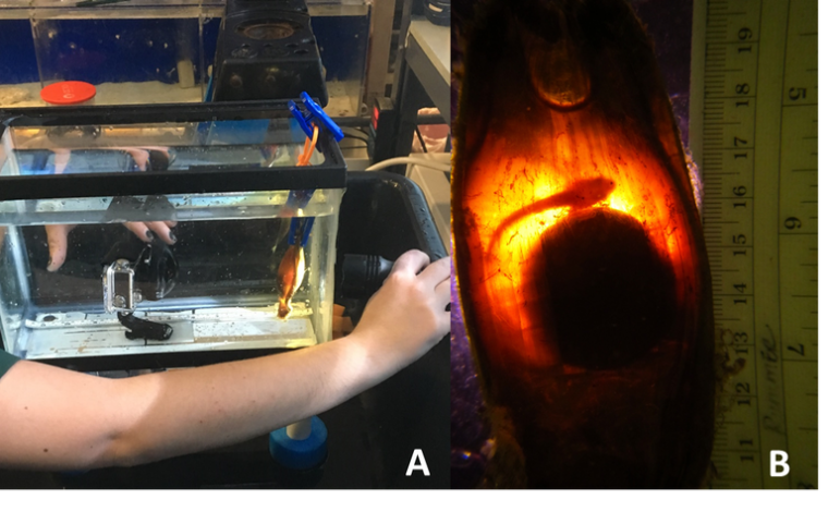 A light is directed on the back of the egg case during candling. (B) An epaulette shark embryo attached to its yolk within the egg case (PC: C. Gervais). Sparked from these preliminary results, within the last month I embarked on a new project to further quantify some of these thermal stress effects