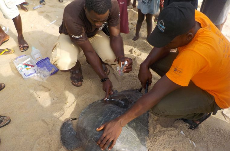 rescuers work with turtle
