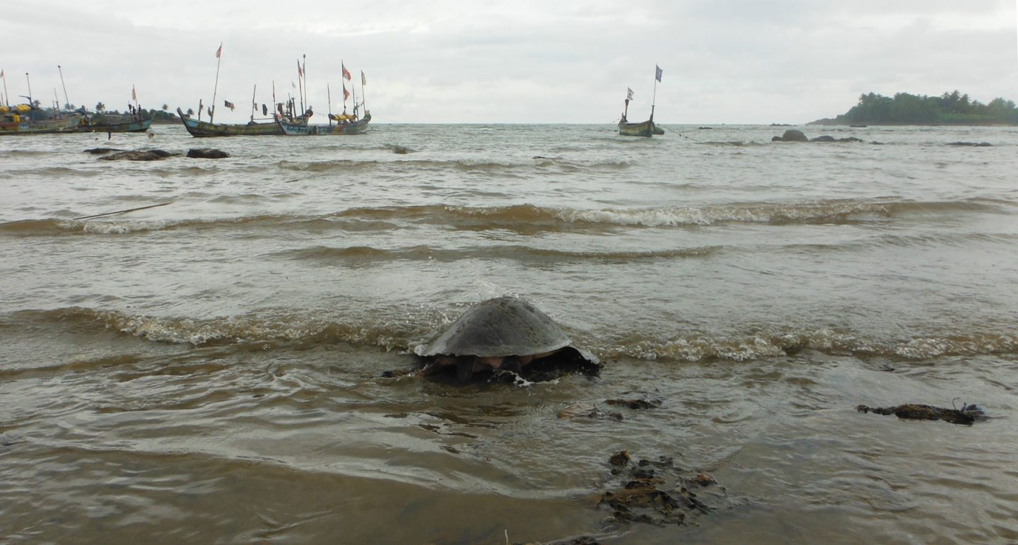 a turtle flaps back into the sea