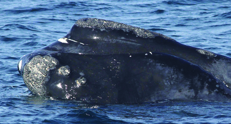 right whale named calvin