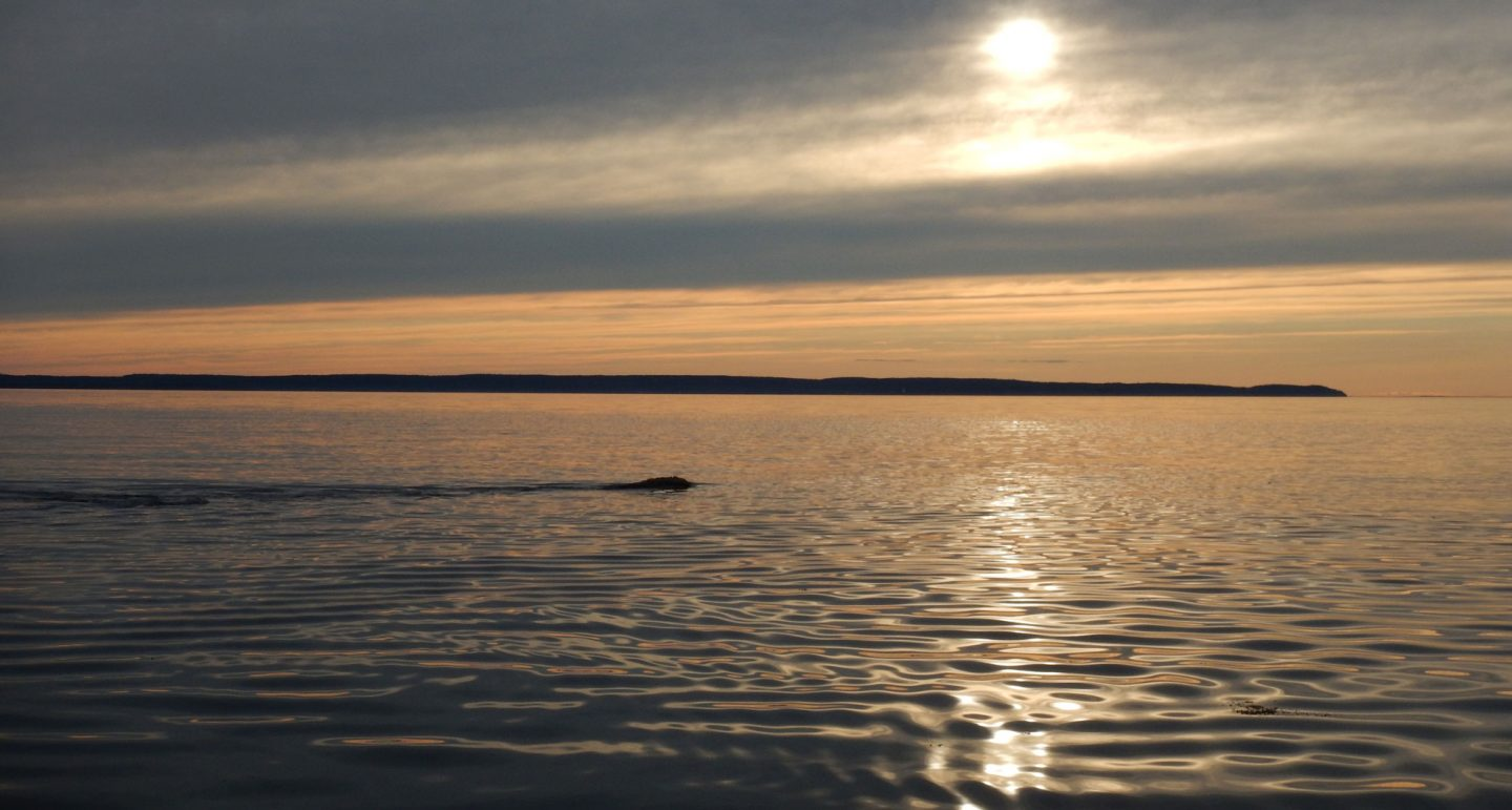 right whale surfaces near sunset
