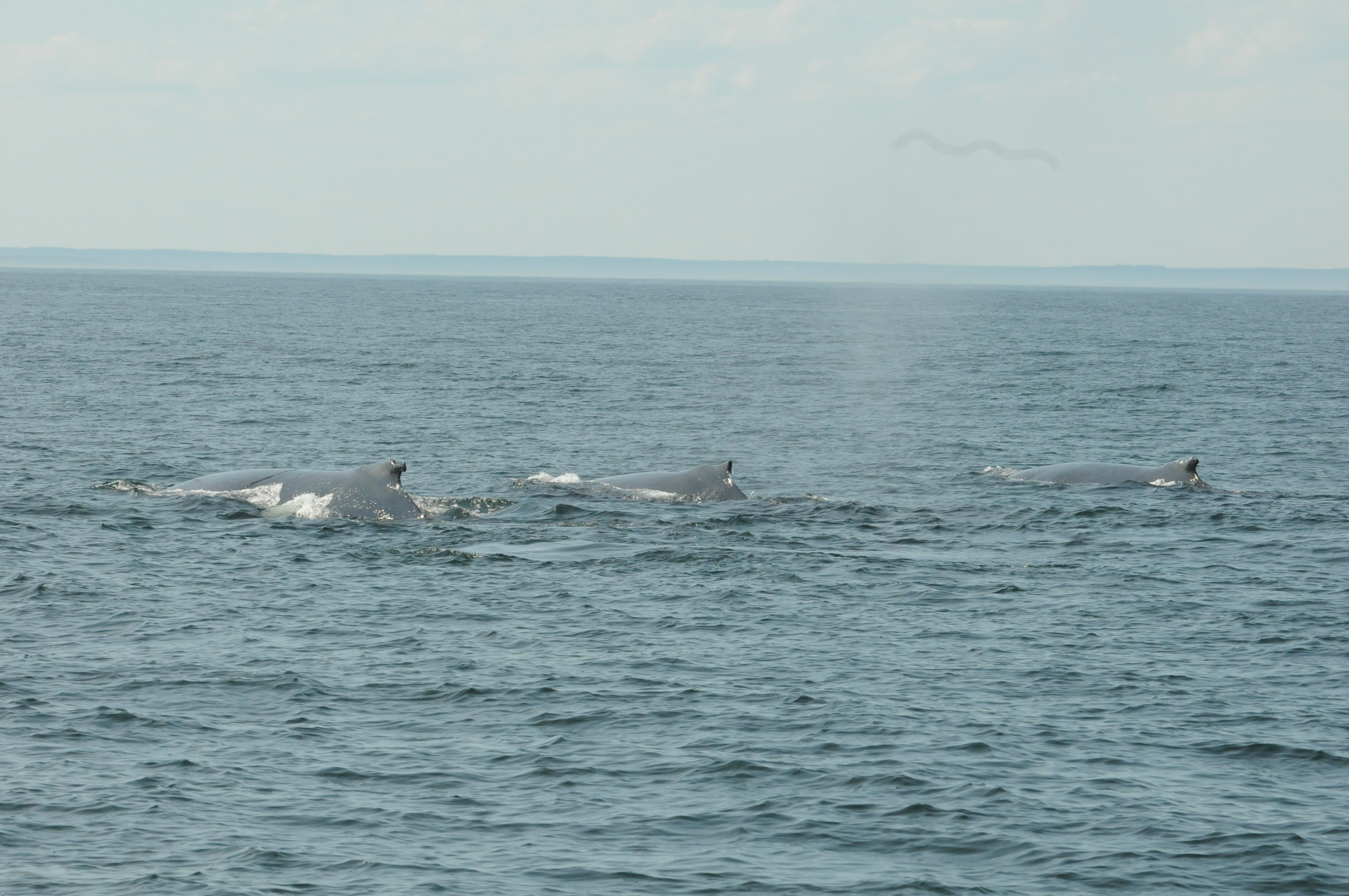humpback whales in the bay of fundy