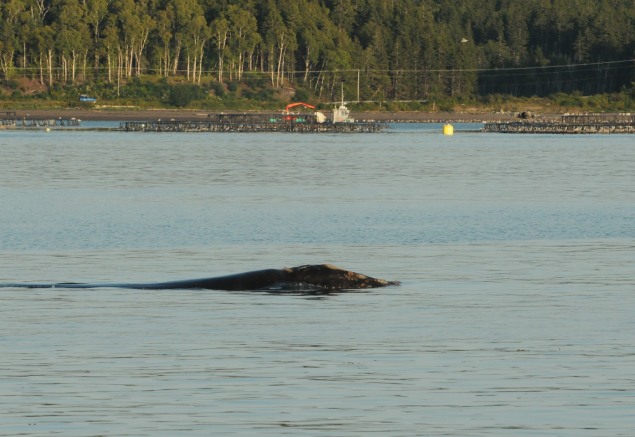 right whale swims in harbor