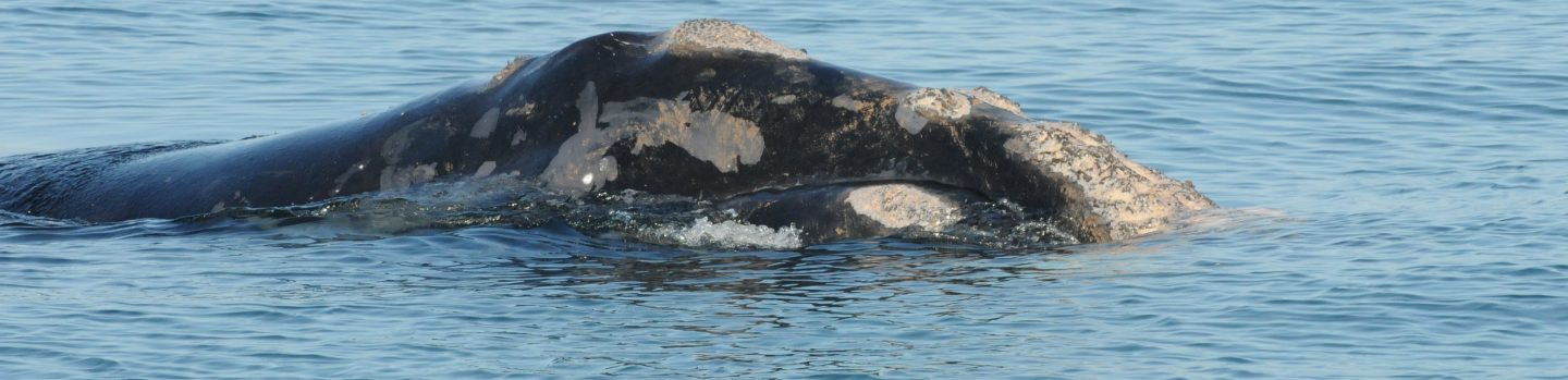 right whale head at surface