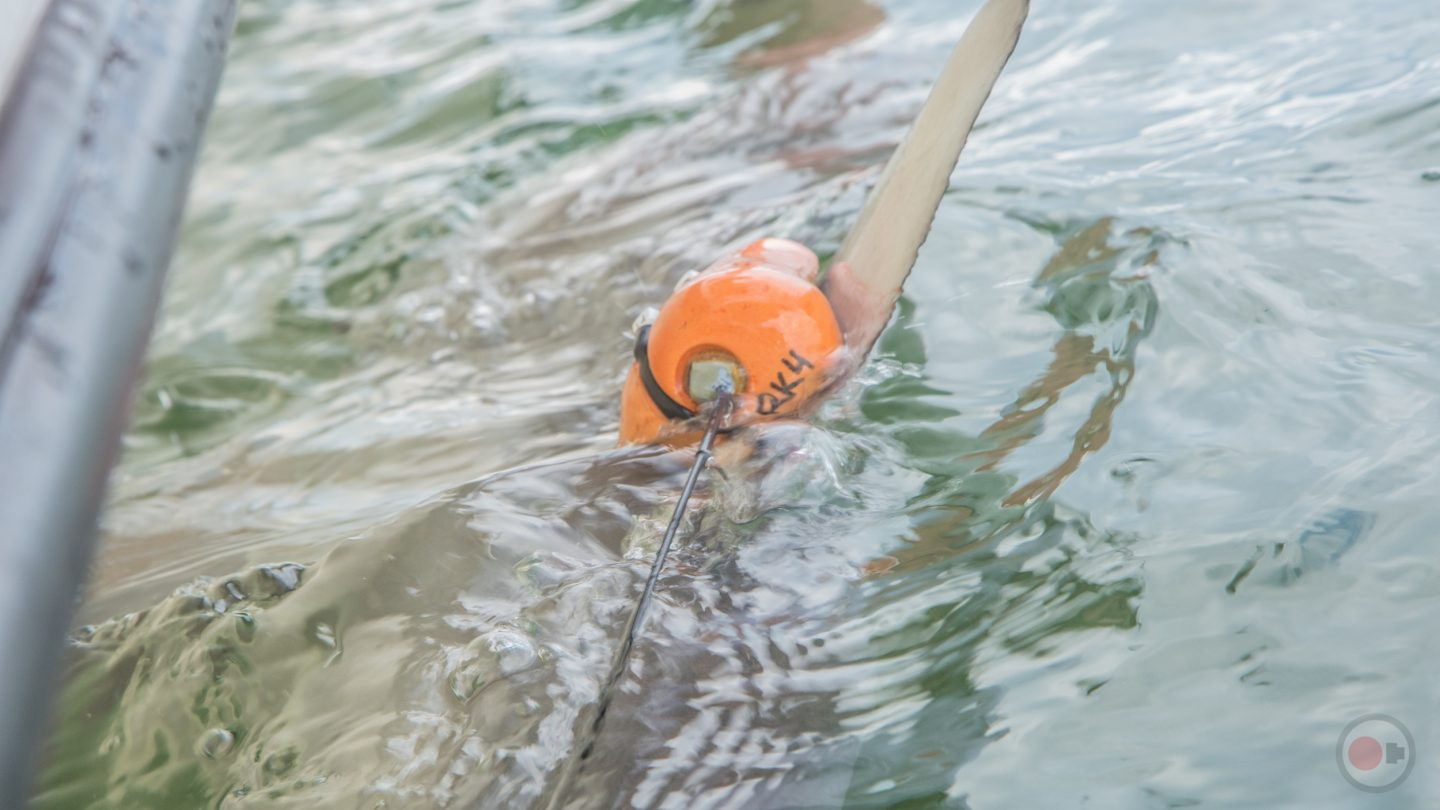 Blacktip Shark fitted with ADL