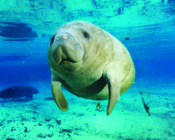 [IMG] An underwater manatee looks at the camera.