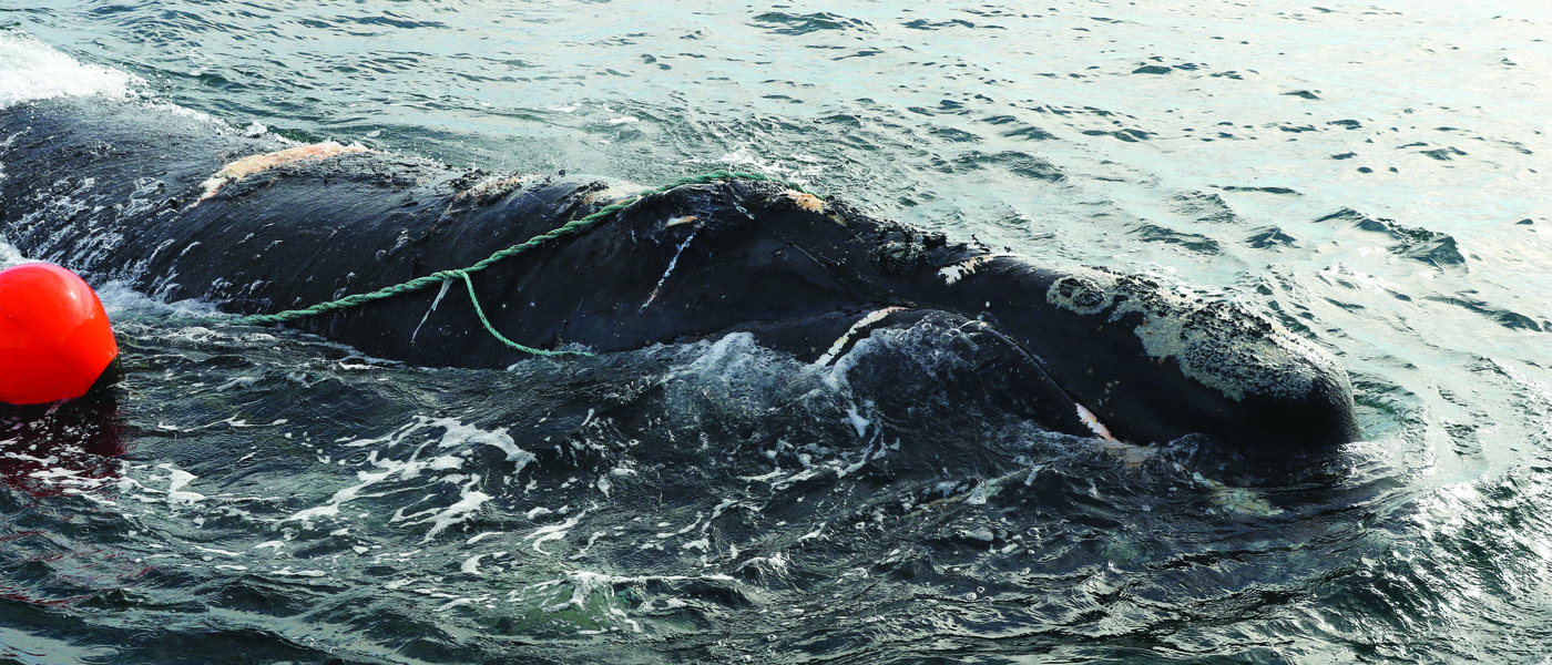 [IMG] A North Atlantic right whale entangled in fishing gear.