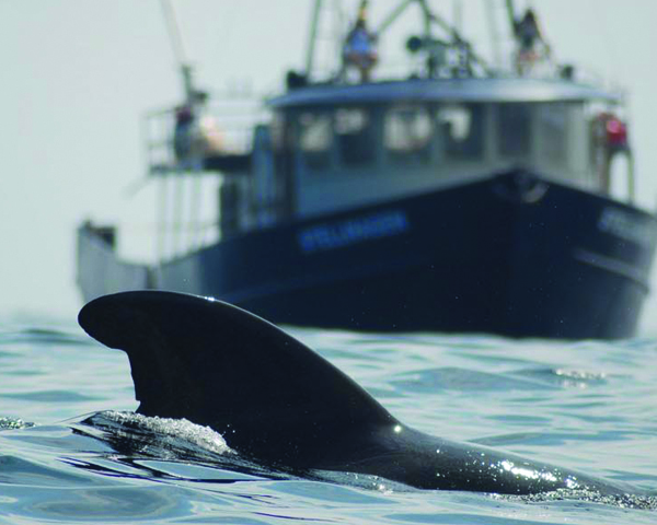 [IMG] A pilot whale swims in front of a boat.