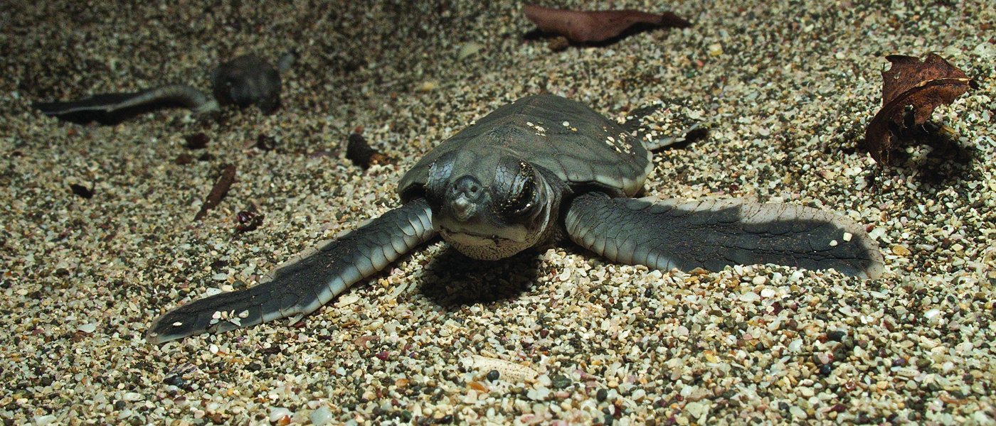 [IMG] A baby turtle crawls out of the sand.