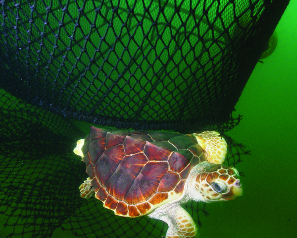 [IMG] A turtle escapes a fishing net thanks to a TED: Turtle Excluder Device. Credit: NOAA.