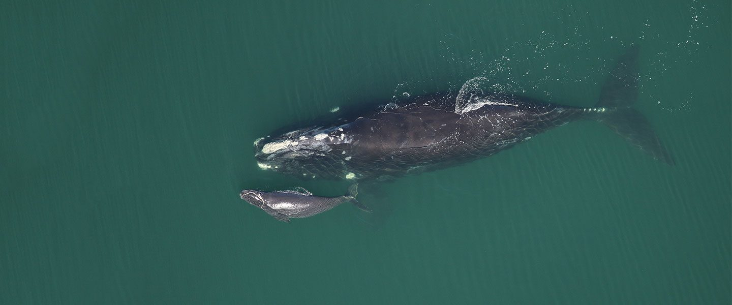 [IMG] Right whale mother an calf from above.