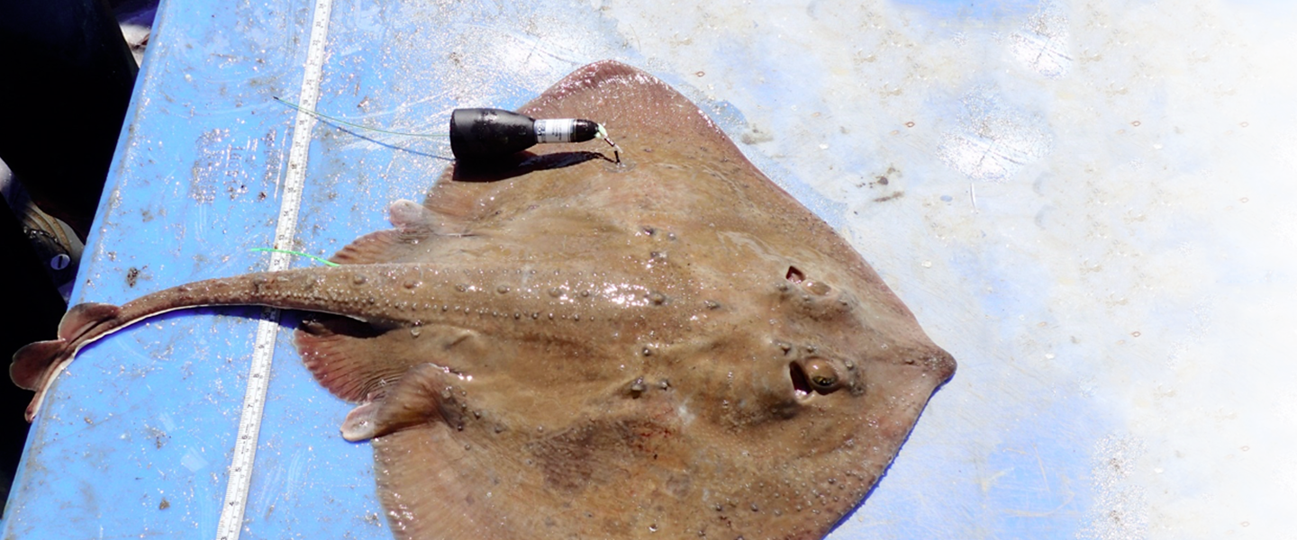 Trawl-caught female thorny skate in good condition and tagged with a pop-up satellite archival transmitting tag that will monitor its movement for up to 28 days.