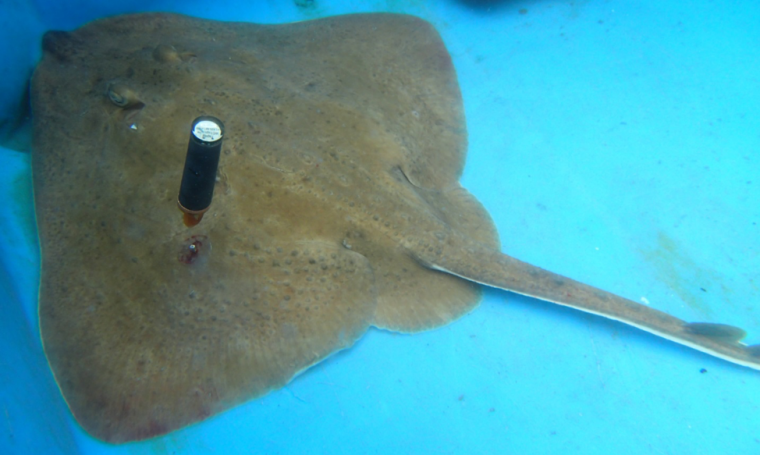 Photo: Thorny skate tagged with PSAT,