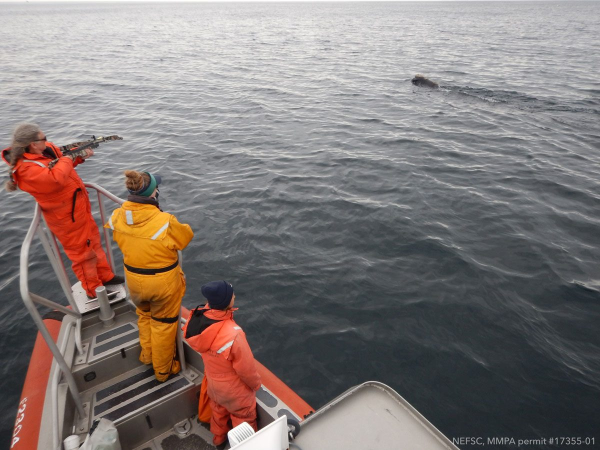 [IMG] Lisa stands by to biopsy the right whale.