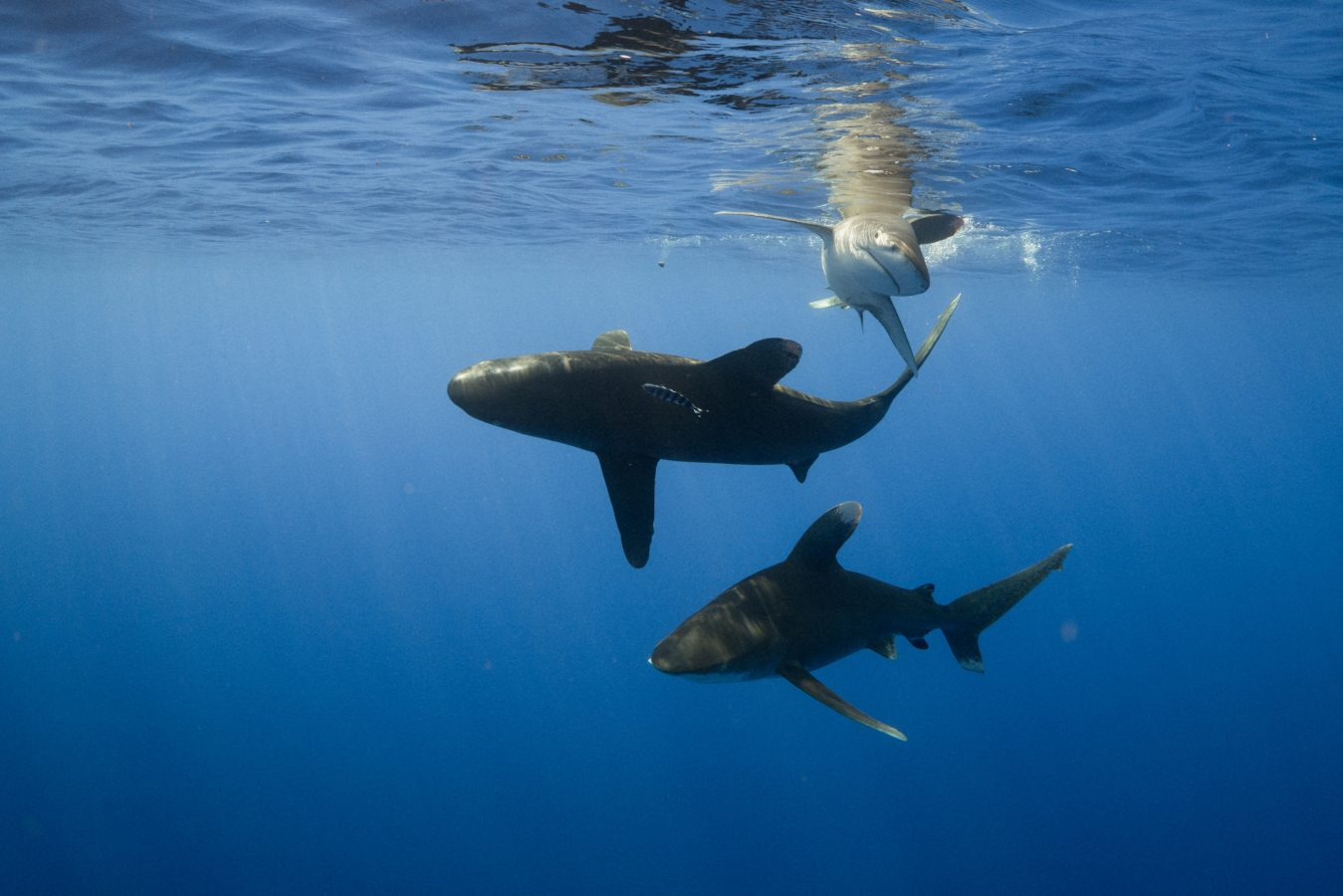 Three oceanic whitetip sharks off of Cat Island, The Bahamas.