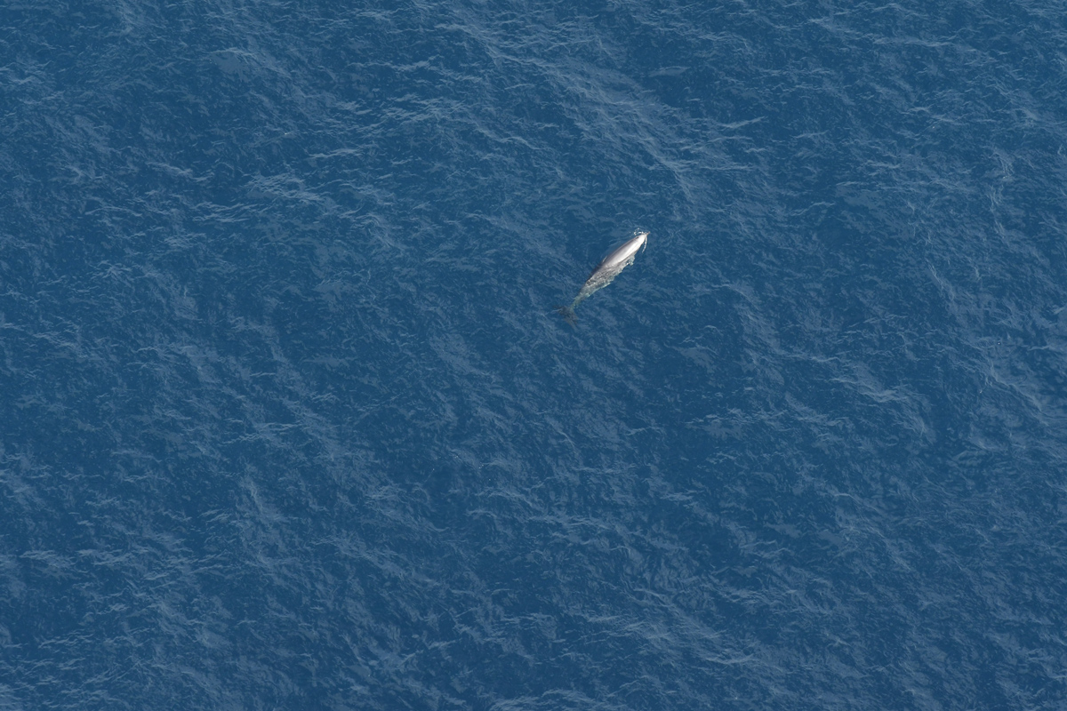 True's beaked whale ascending from a dive.