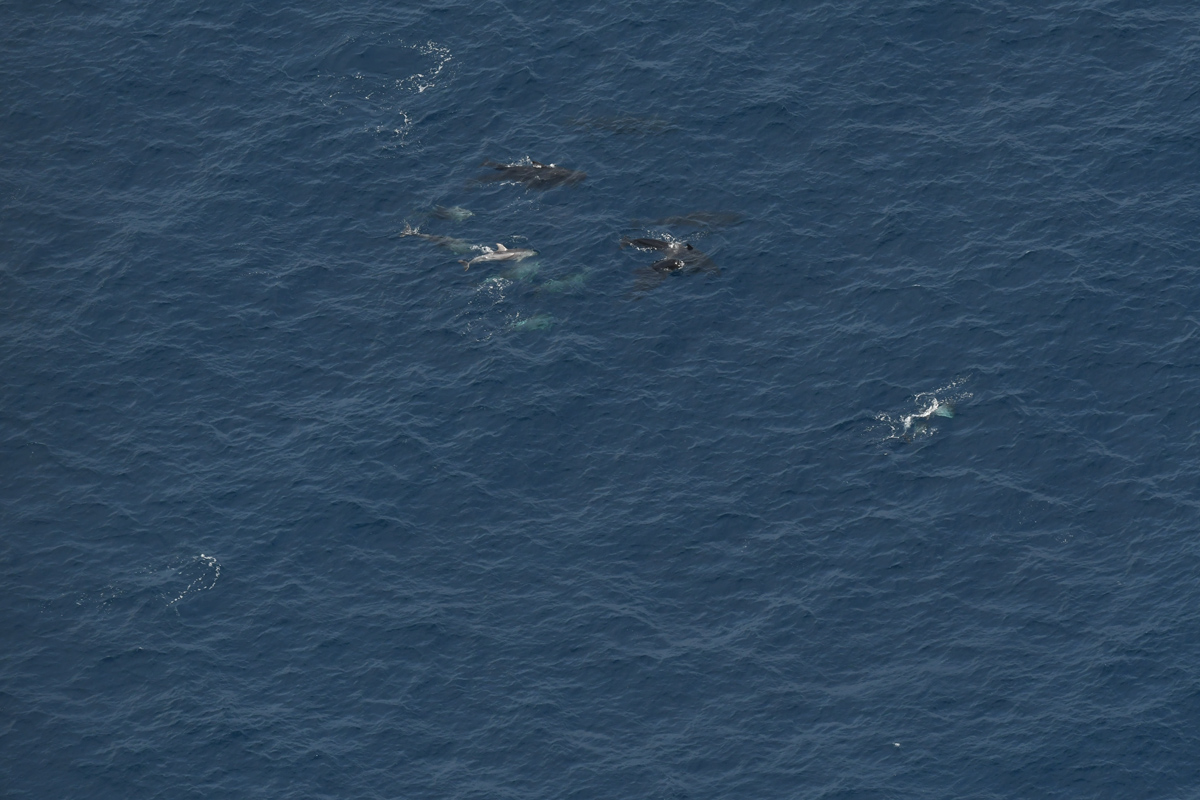 A mixed-species pod of pilot whales and bottlenose dolphins.