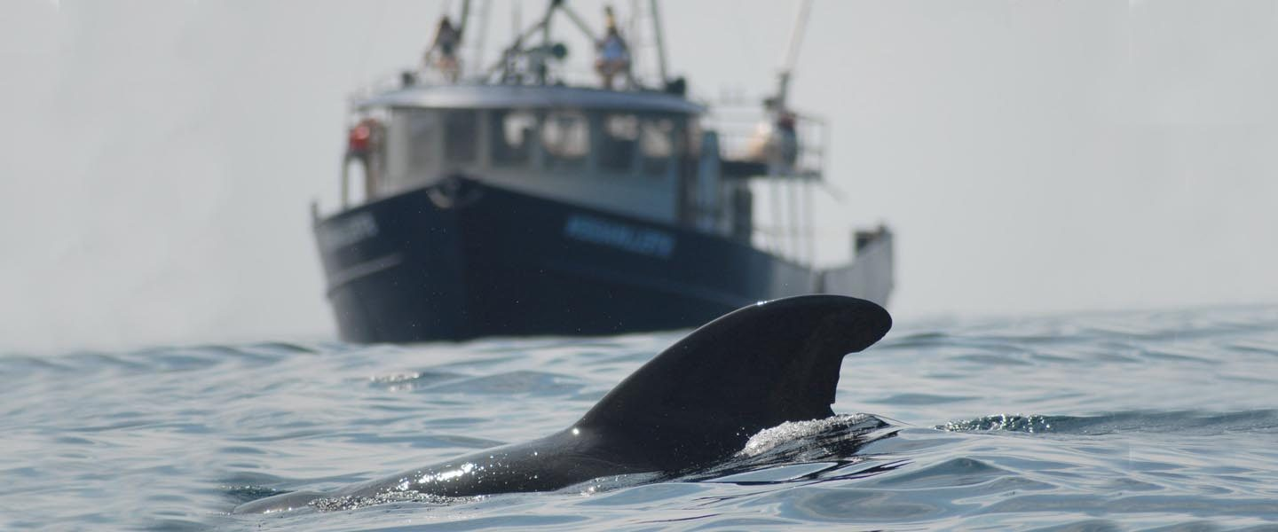 pilot whale surfaces near a vessel