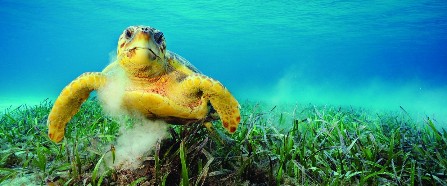 Sea turtle swimming in crystalline waters above ocean grass
