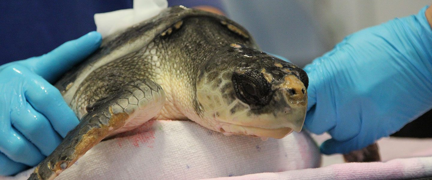sea turtle on exam table