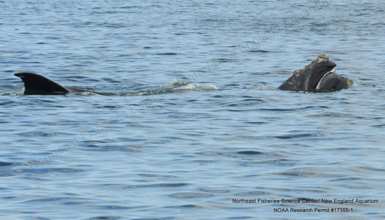 Mother and calf right whale