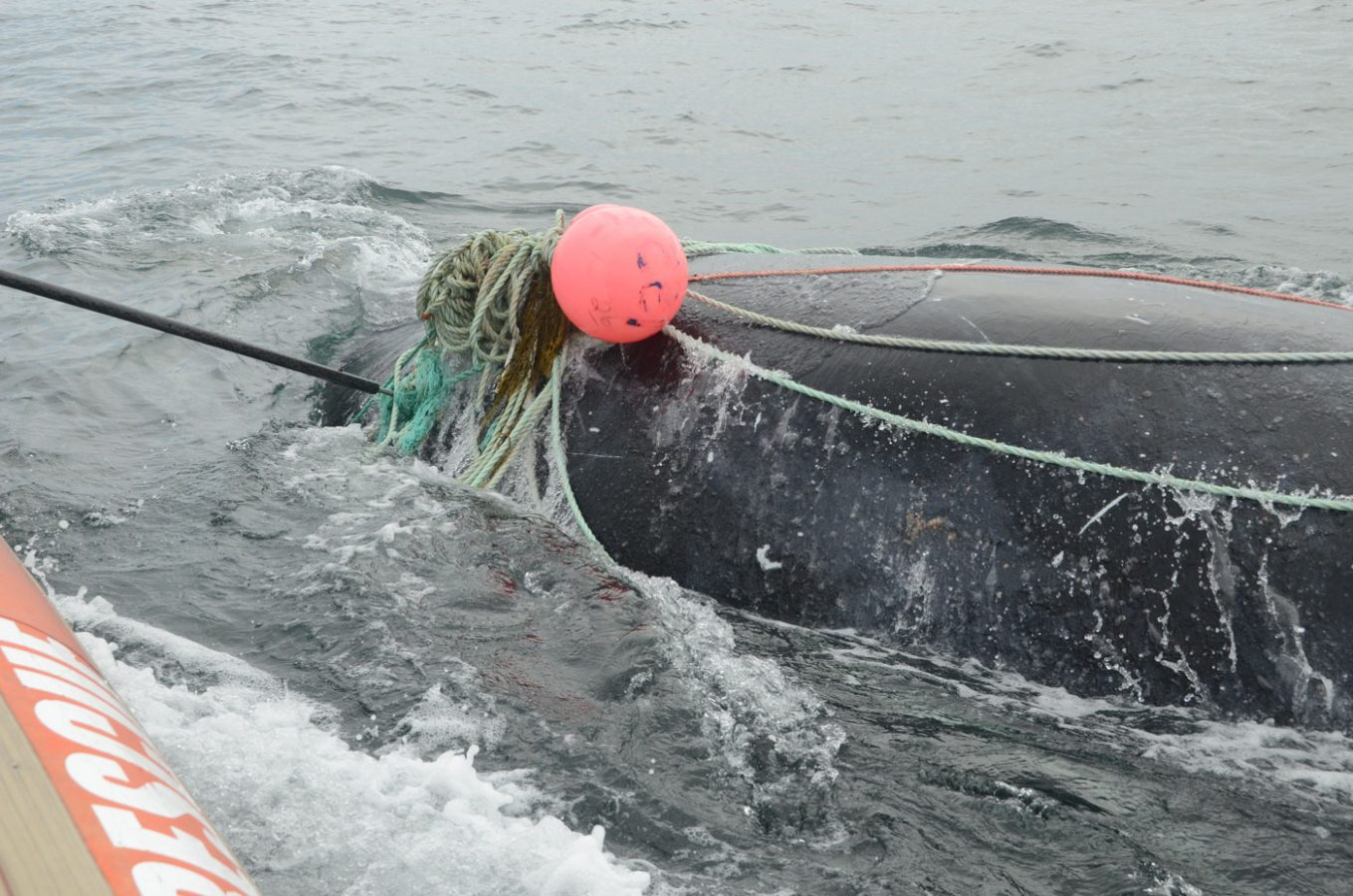 whale at surface dragging lots of rope