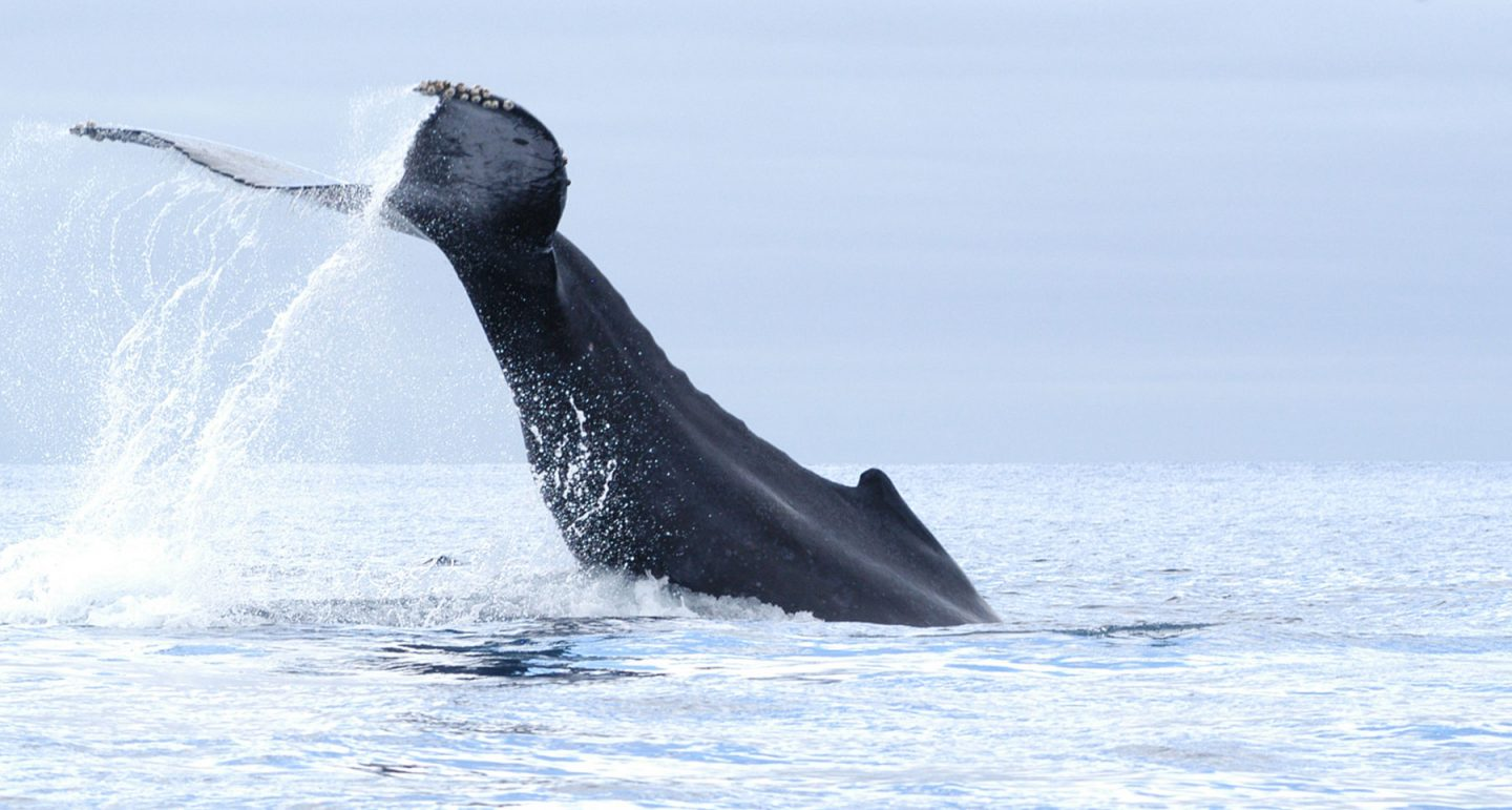 a humpback whale fluke raised high above surface