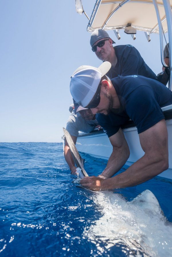 anderson cabot center scientist drawing blood from shark in water