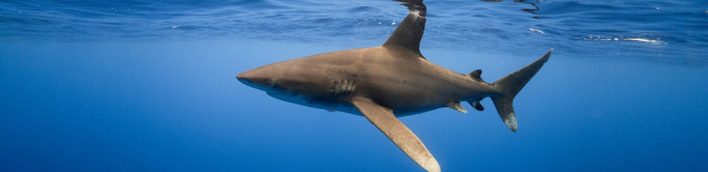 oceanic whitetip shark near surface