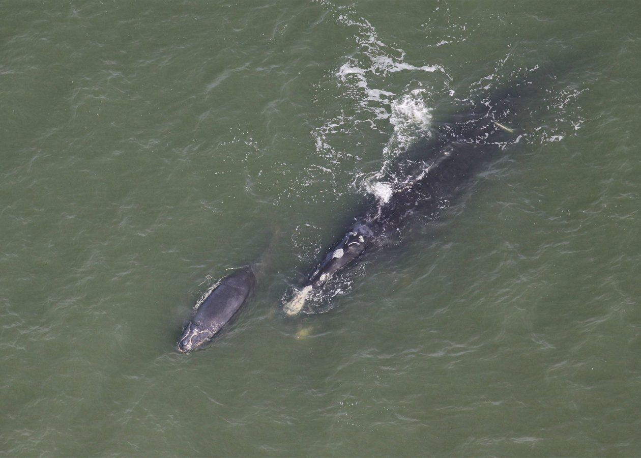 Right whale mom and calf