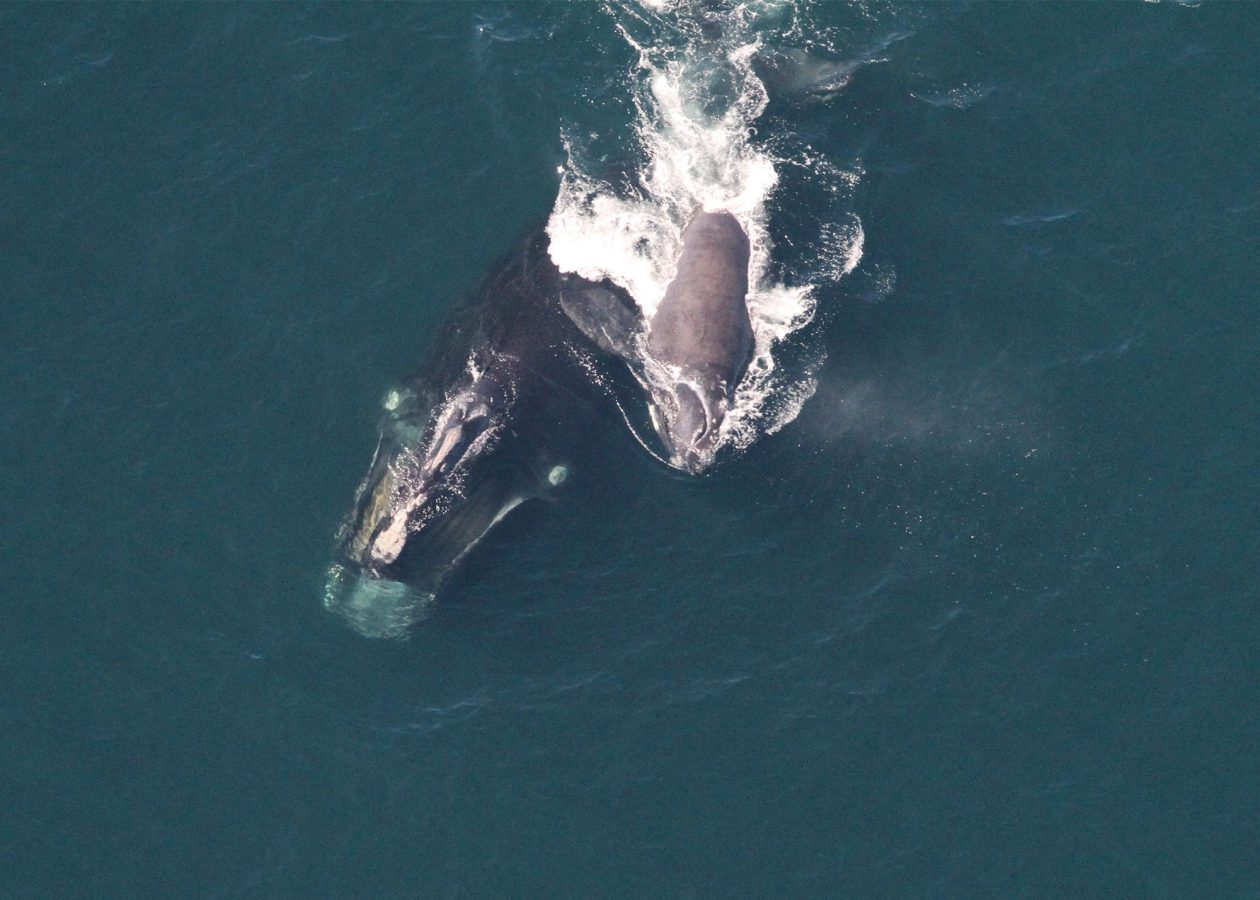 Right whale #1515 with calf