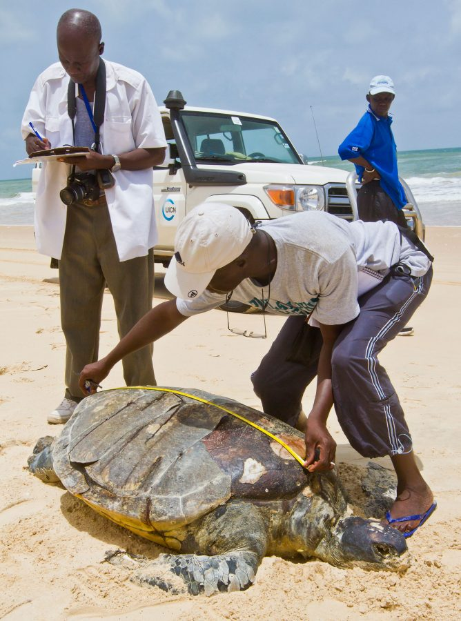scientist measures the carapace of dead turtle in Africa
