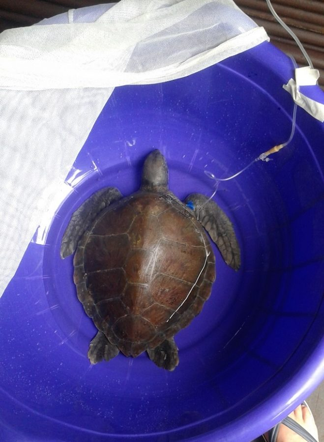 sea turtle in recovery pool