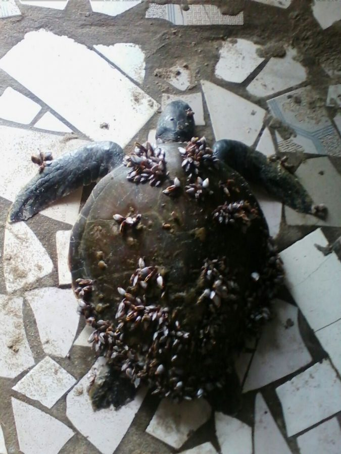 sea turtle with parasites on back