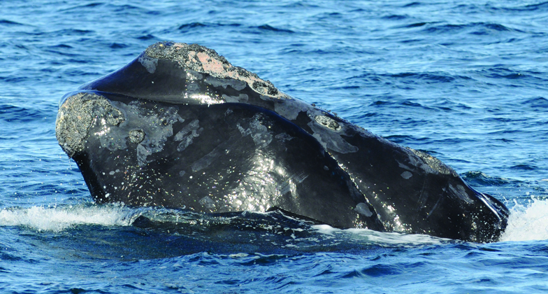 right whale named gemini