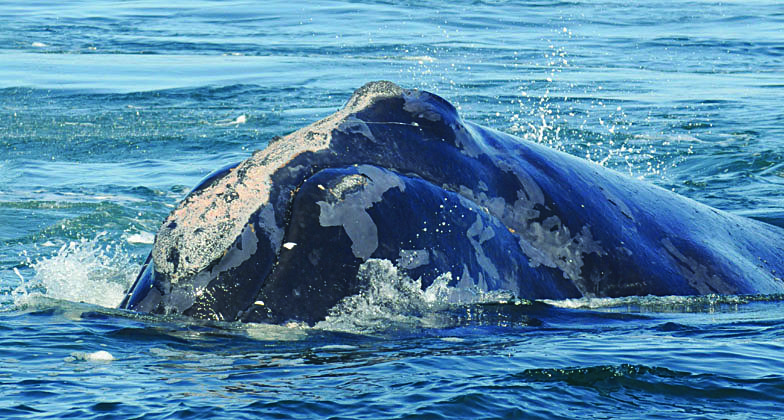 right whale named manta